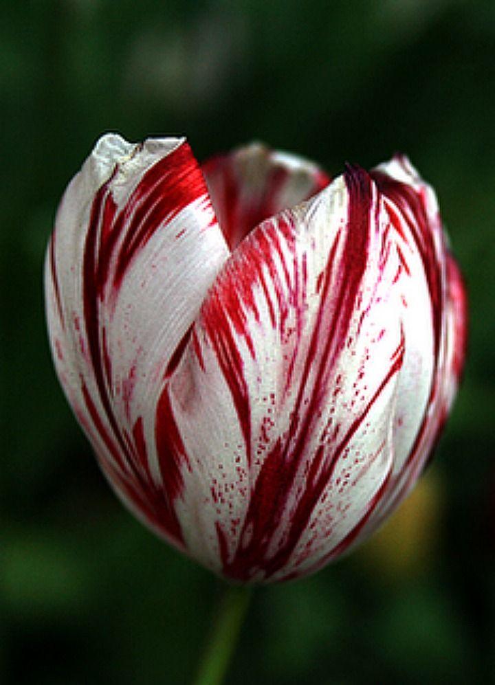 tulipani olandesi - semper augustus