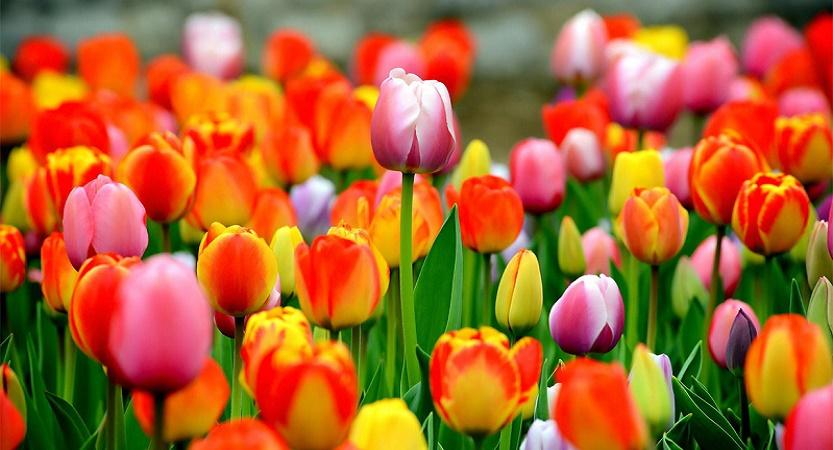 La storia dei tulipani olandesi
