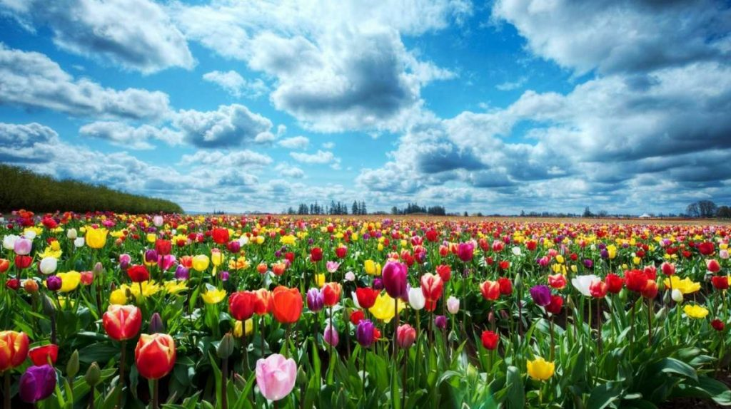 i tulipani e l'olanda tappeto di tulipani